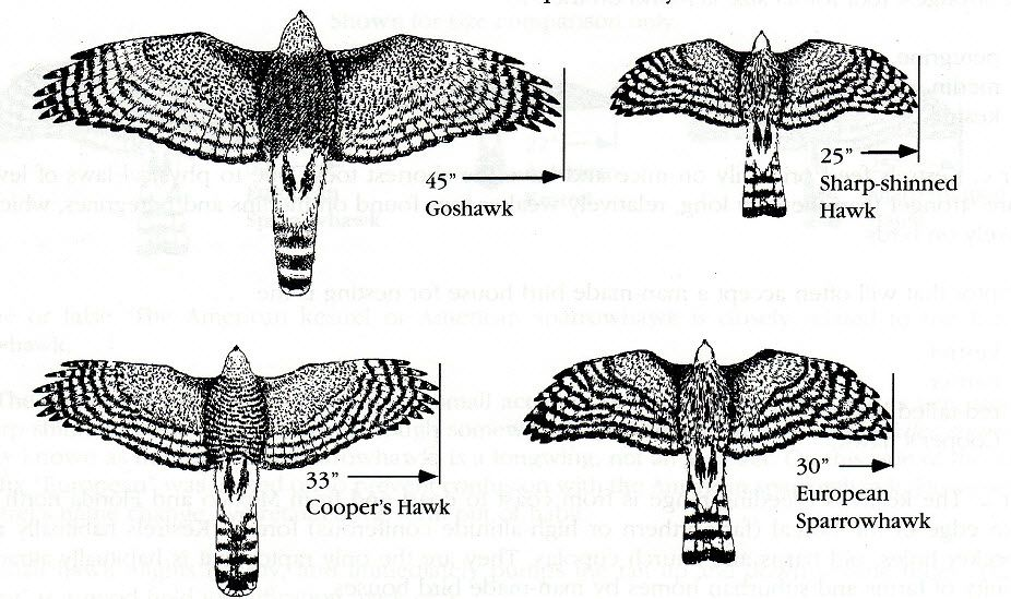 Relative size - Goshawk, Sharp-shinned, Coopers and Sparrowhawk