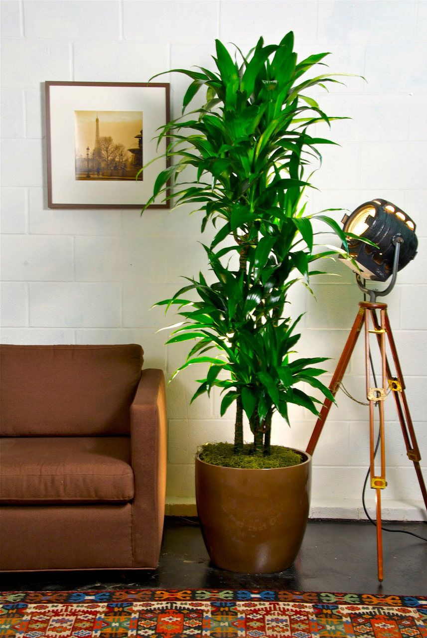 Hawaiian Lisa Cane Large Indoor Plants Tall Indoor Plants House Plants Indoor