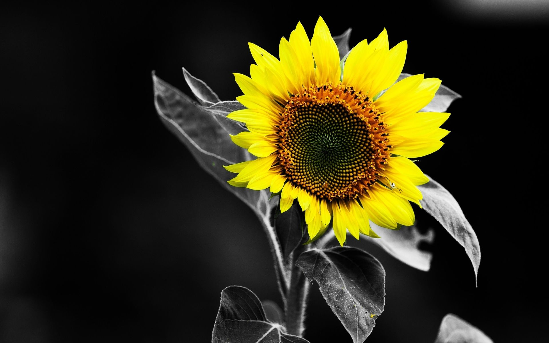 Sunflower Black And White Yellow Color HD Wallpaper