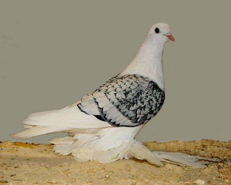 Saxon Shield Pigeon Blue Quot Spangle Quot Toy Stencil White On