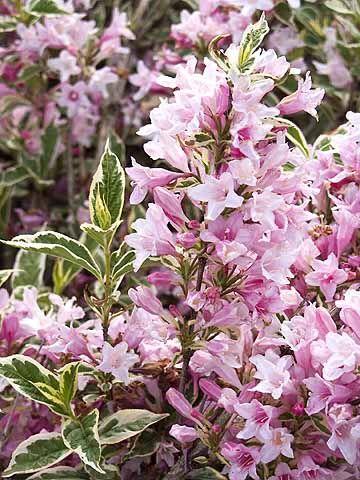 Partial Shade Plants Zone 5 Good News Gardening Weigela Florida Variegated