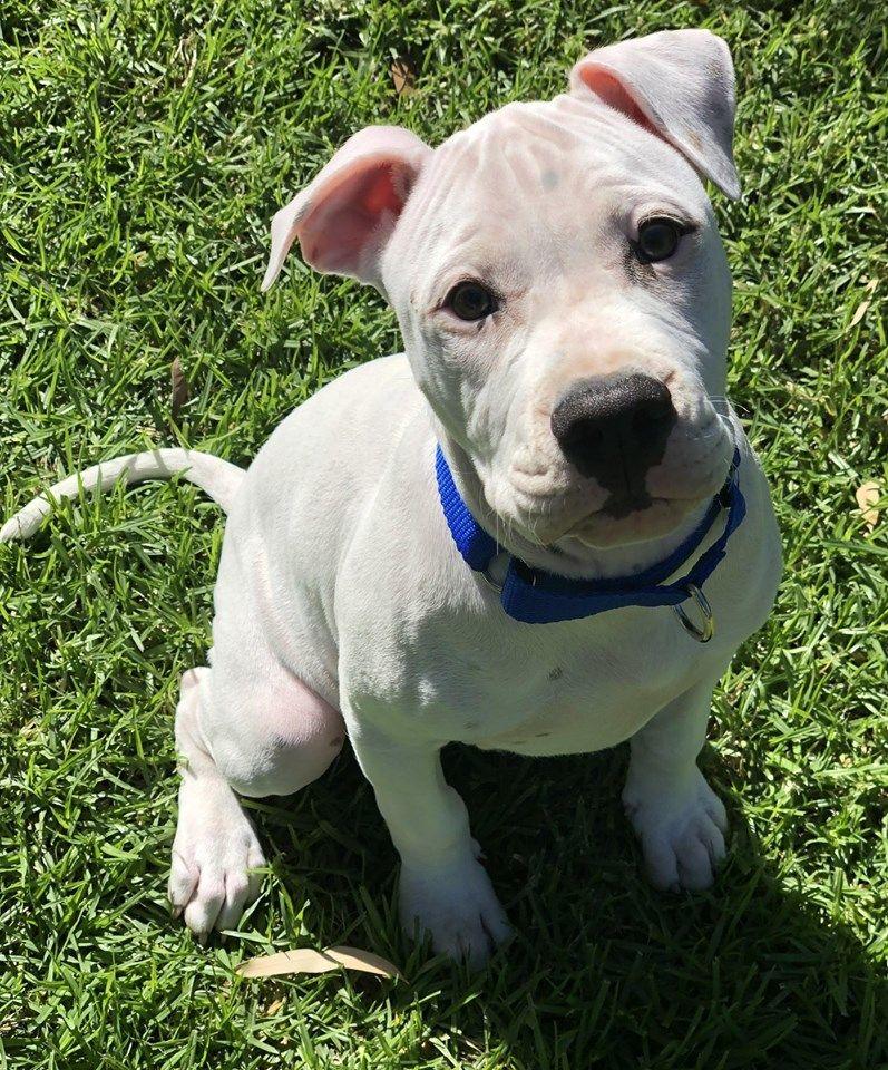 Bean 12 Week Old Male American Bulldog Adopted May 5 2019