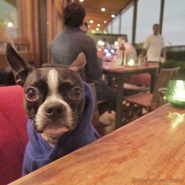 """Excuse me waiter... the treat list please!!!  #bostonterrier  Com licença garcom... a lista de petiscos por favor!!!  #saindodadieta #manégalã  { Post novo no site """"Mané pelo mundo""""... Olha lá!!! http://ift.tt/1KV8DQP} by manemanezinho"""