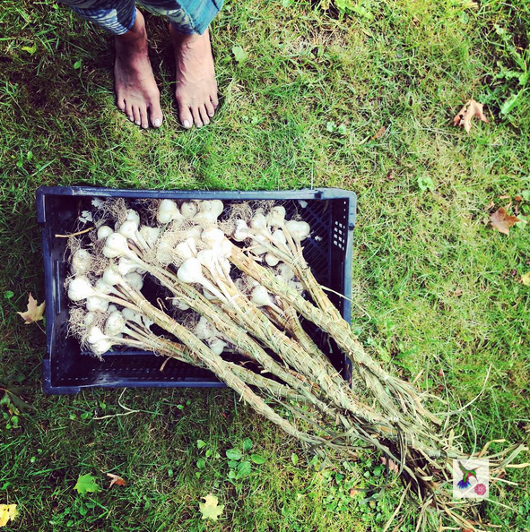 Good Morning World! Are you ready to keep your immunity up all winter long? We have harvested this #superfood, we have allowed it to cure.... This morning we have bundled them up and whispered our prayers of love into them so they can whisper them back to us on those long winter nights... #odetothegarlic #garlic #mandalagarden #eattherainbow #eatlocal #growyourfood #eatfresh #eatpraylove