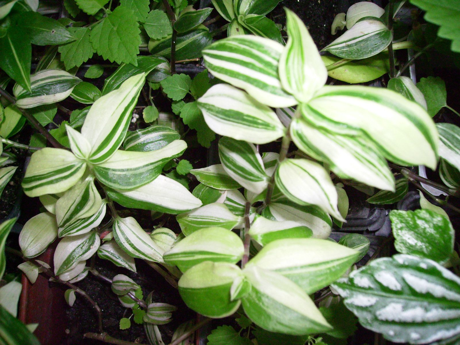 striped green and white variegated wandering jew starter plant