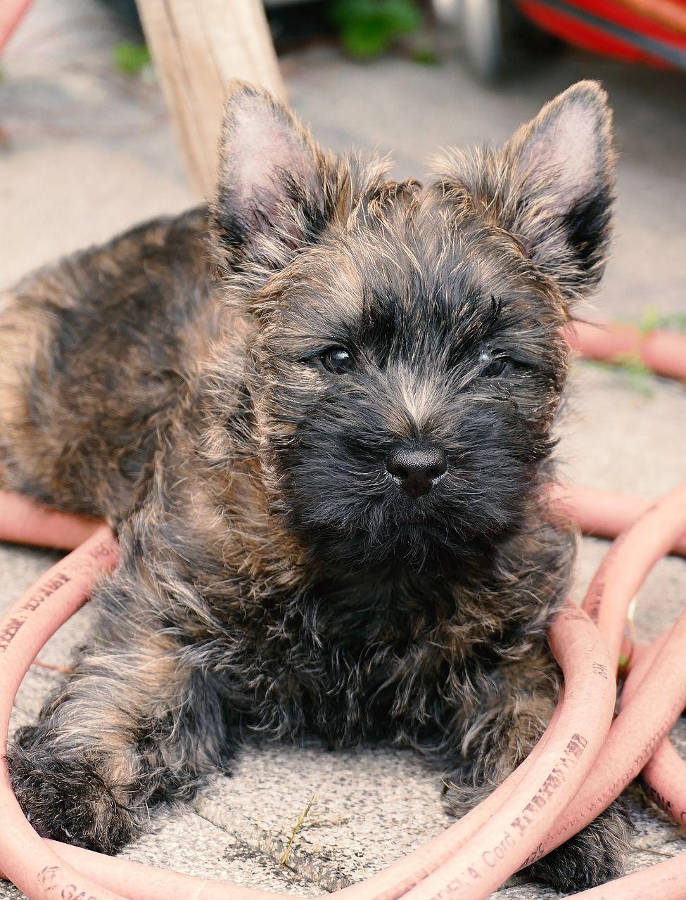 Cairn Terrier Cairn Terrier Terrier Terrier Dogs