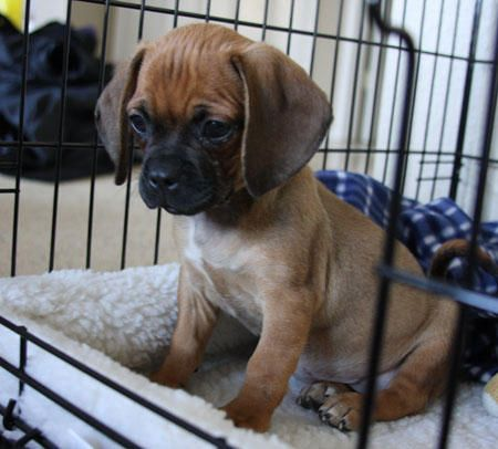 Puggle Pictures Full Grown Google Search Puggle Dogs Animals