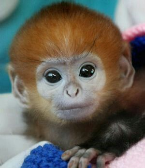 Super cute Australian monkey... And people say all their animals are super scary