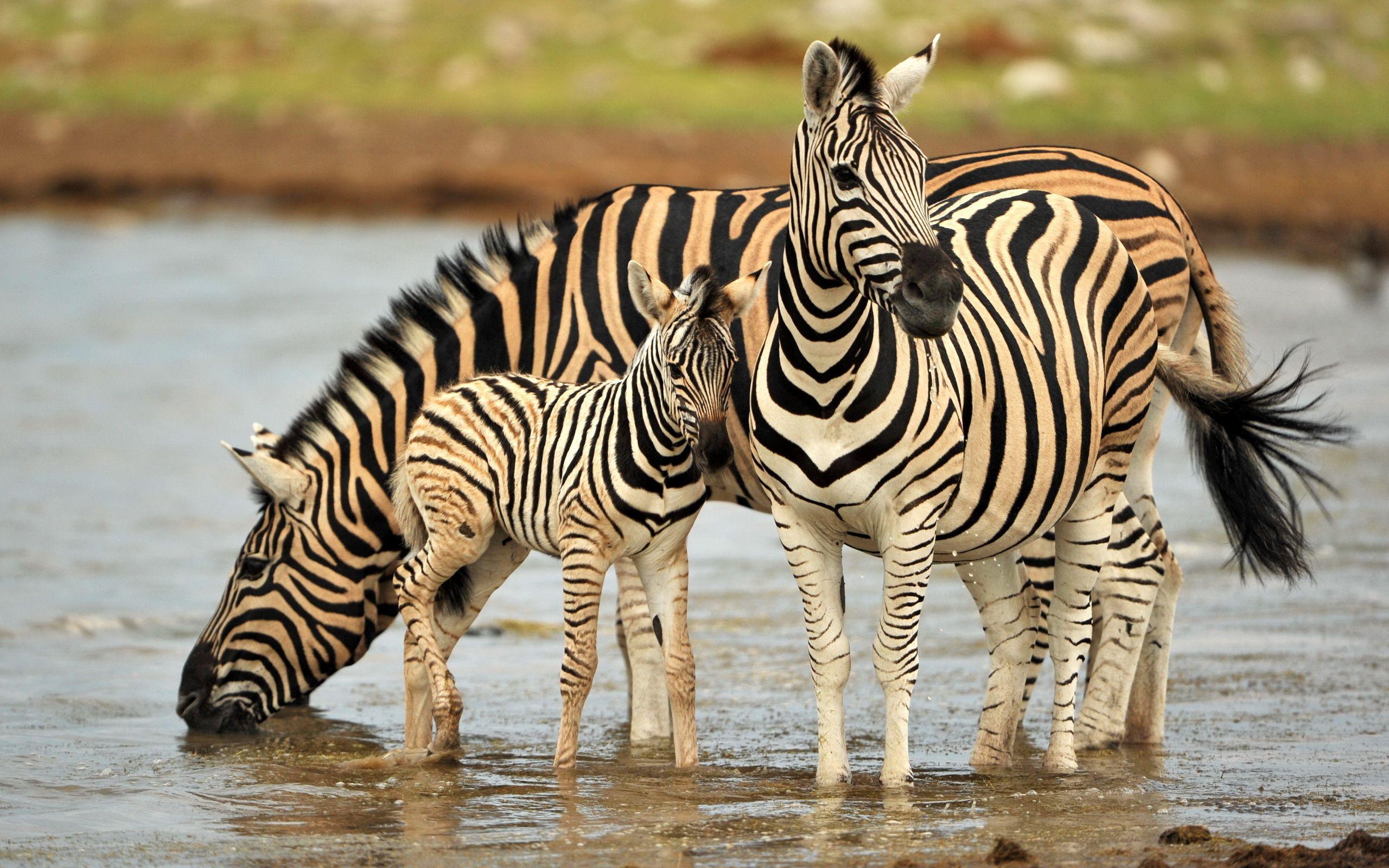 Cool zebra background image hd wallpaper Животные, Зебра