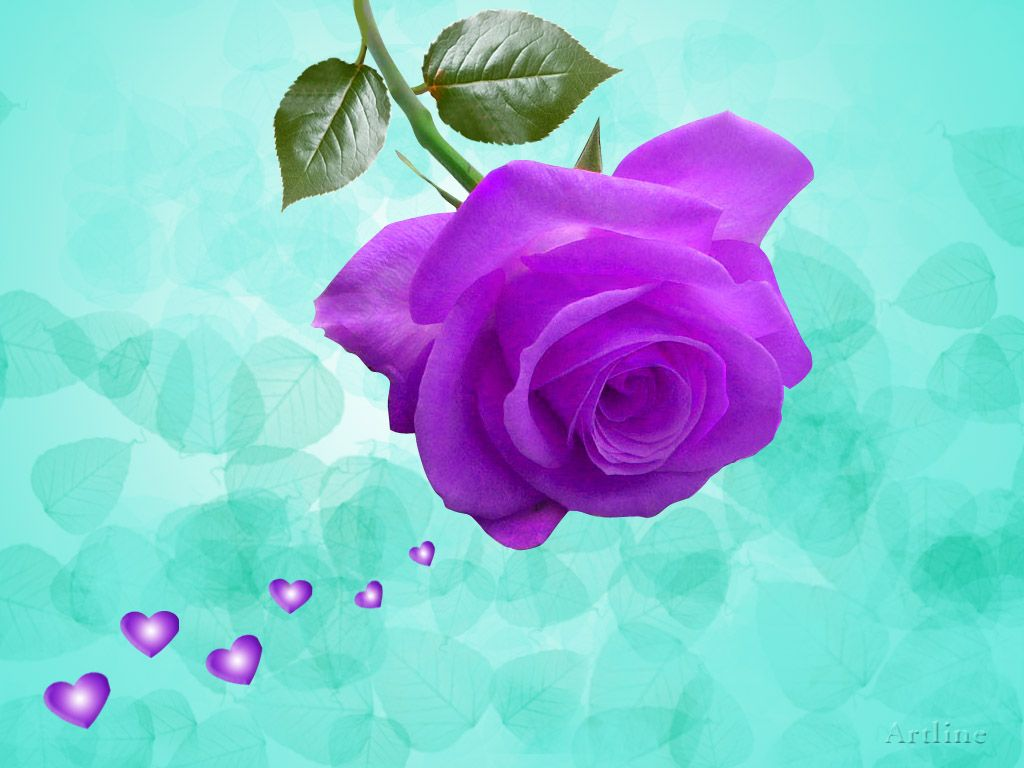 ... Lovely Purple (Violet) Rose With