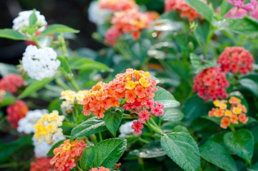 11 Types Of Lantana Flowers For Your Garden With Images Lantana Flowers For You
