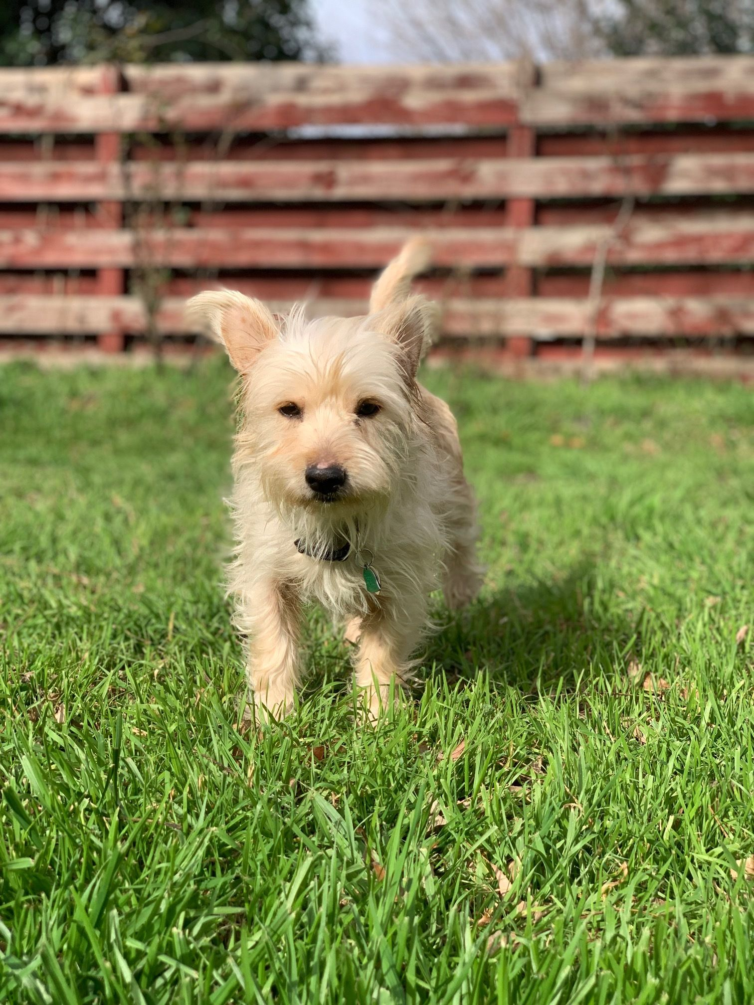 Adopt Merlyn Has Been Adopted On White Terrier Adoption Dogs
