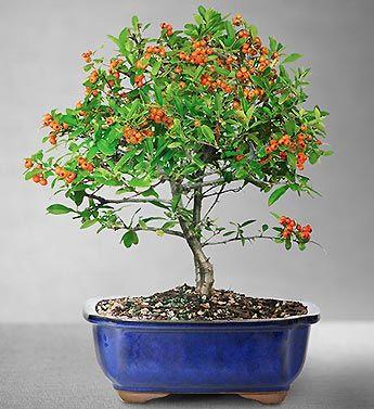 Dwarf Pyracantha Bonsai 89 99 Bonsai Tree Bonsai Seeds Bonsai