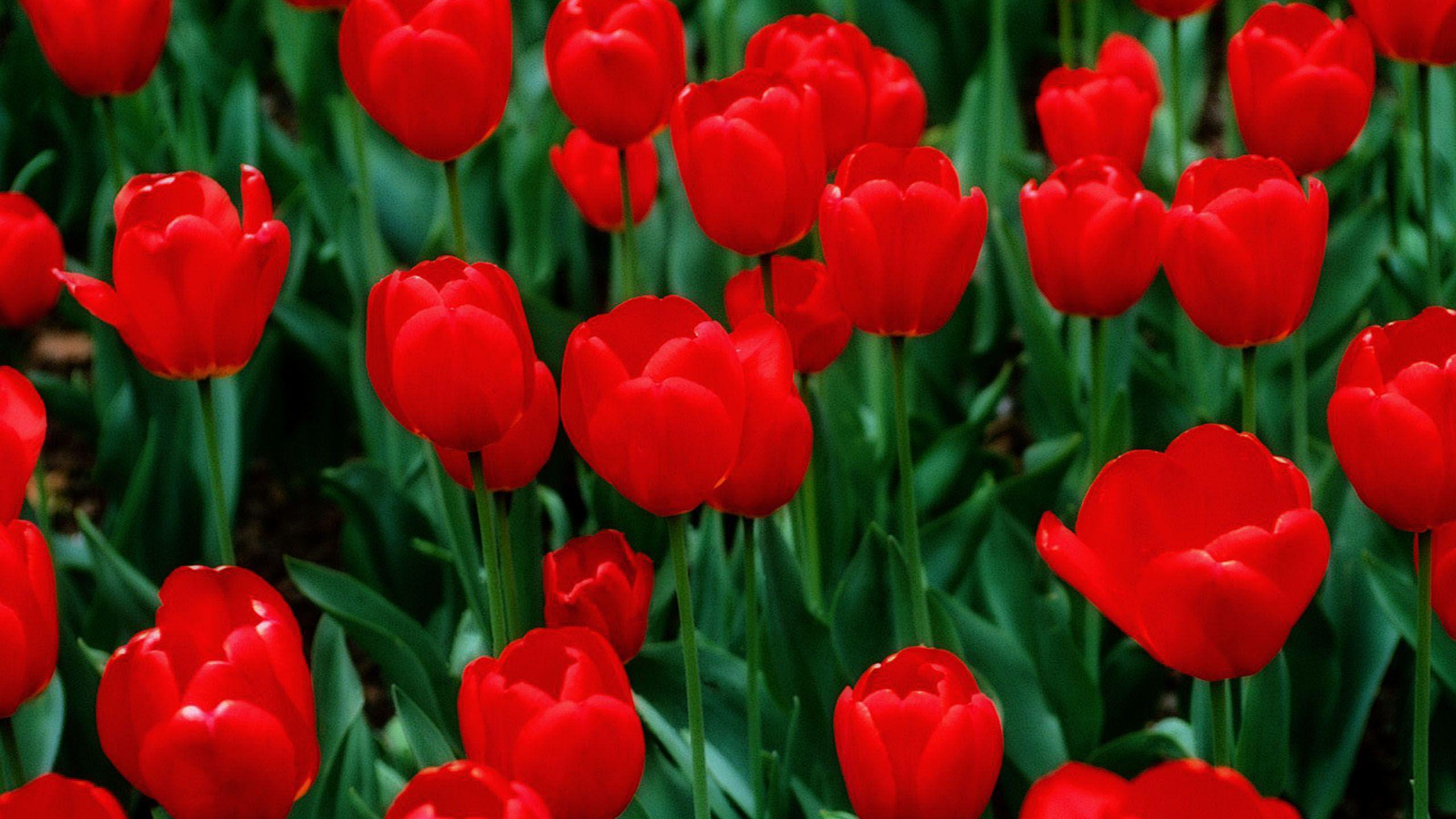 Tulips 029 - http://1080wallpaper.net/tulips-029.html