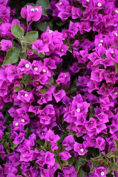 Purple Bouganvilla
