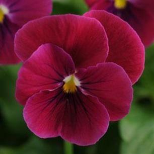 Sorbet Carmine Rose Viola Pansies Flowers Annual Flowers Pansies