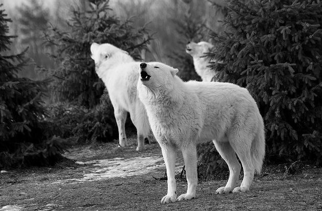 Howling white wolves Wolf photos, White wolf, Arctic wolf