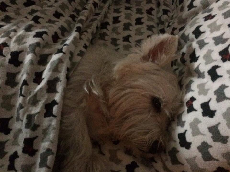 Westie bed sheets | Wild wild westie | Pinterest