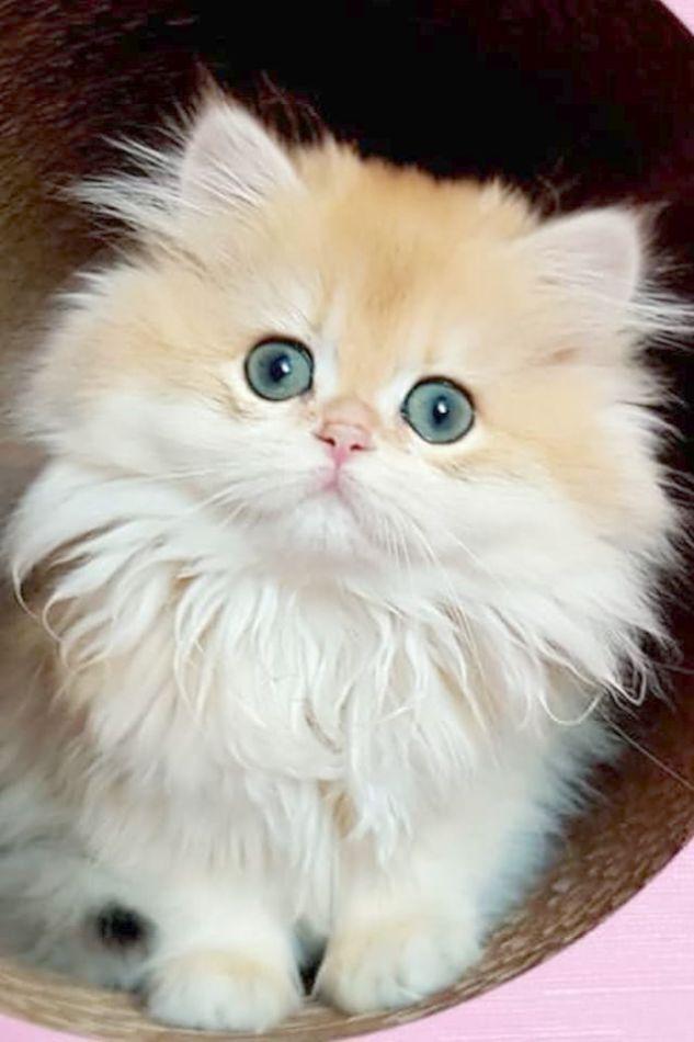 Pin By Tamra Telles On Trop Mimi Cats Cute Fluffy Kittens Kittens Cutest Cute Cats