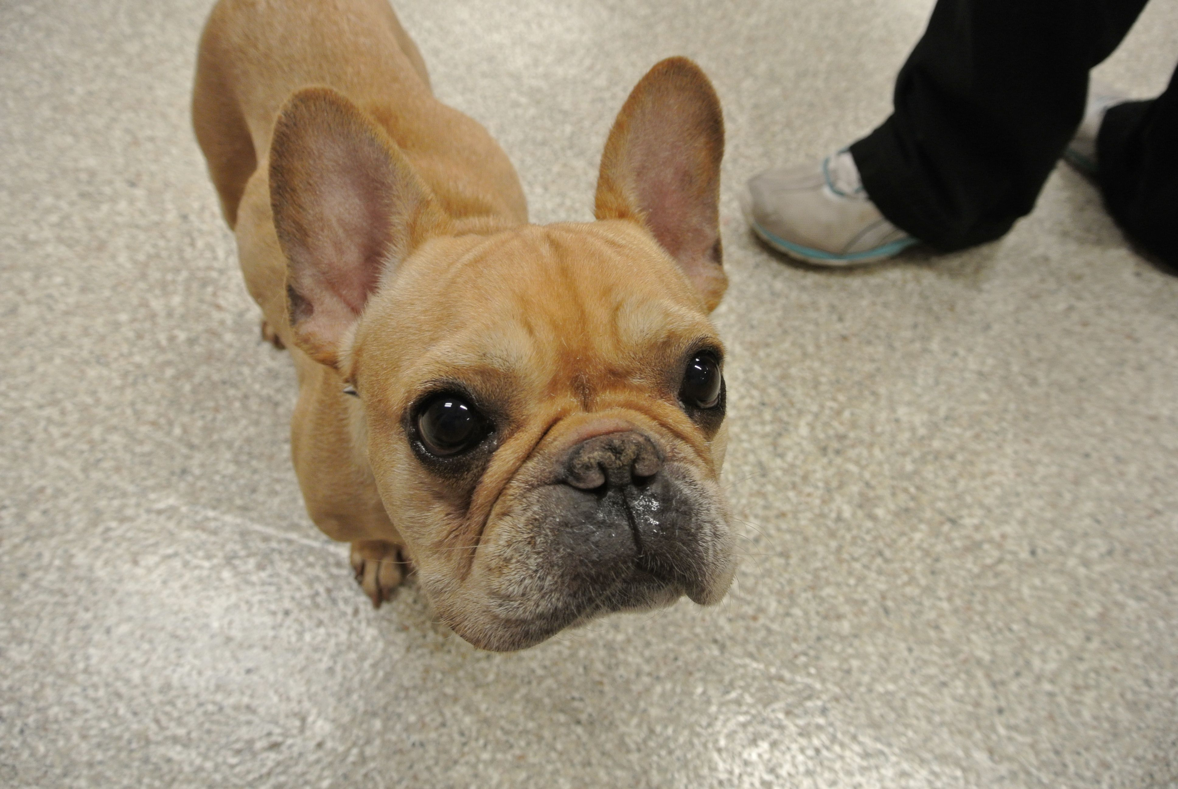Waddya Lookin At French Bulldog White French Bulldog Puppies French Bulldog Brown