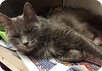 Media, PA - Domestic Mediumhair. Meet Blues, a cat for adoption. http://www.adoptapet.com/pet/14089750-media-pennsylvania-cat