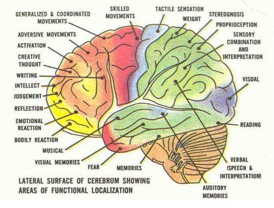 Brain functions (gross) | Health | Pinterest