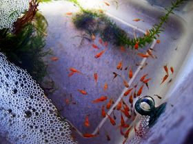 Tropical Fish Pictures Platies Care And Breeding