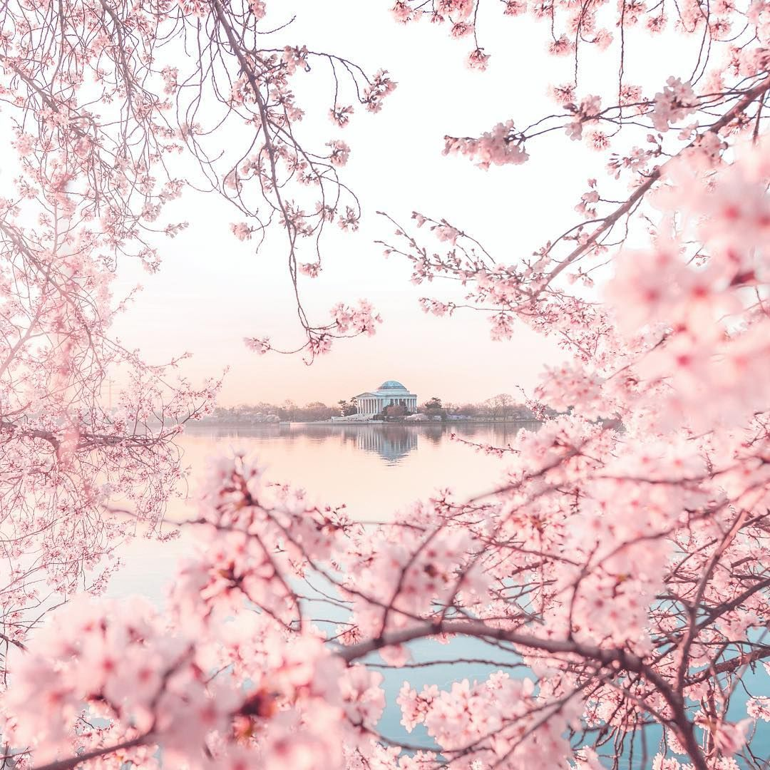 Andy Feliciotti On Instagram Fantastic Sunrise This Morning At Peak Bloom Of The Cherry Blossoms Igdc Cherry Blossom Cherry Blossom Art Blossom