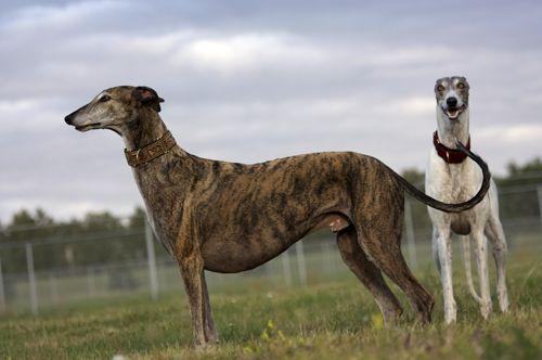 Standing Brindle Greyhound With White Dog In Background Grey
