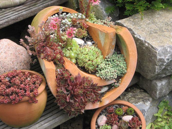 Hauswurz  Bilder und Fotos  Garten  Pinterest