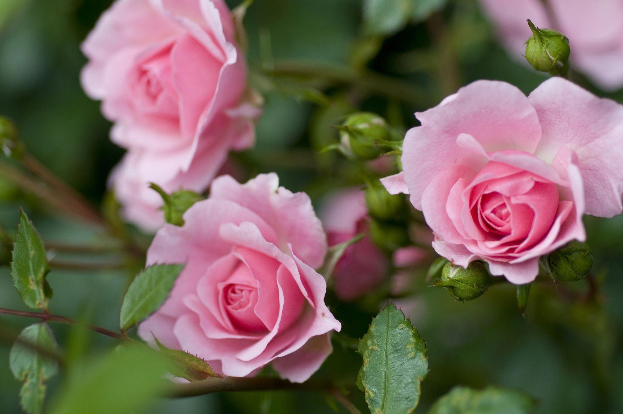 TOP 11 des rosiers qui résistent aux maladies | Rosier ...