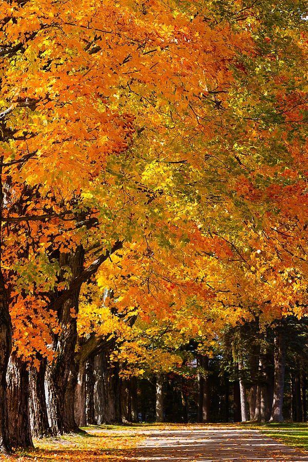 Maples - New Hampshire