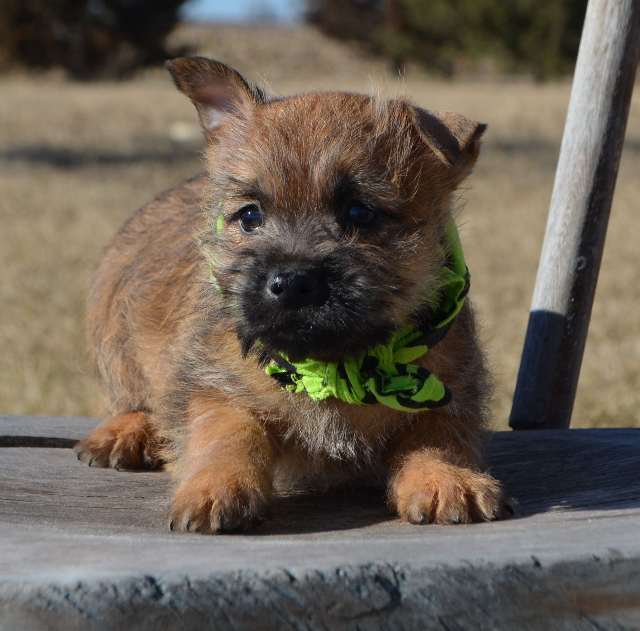 Cairn Terrier Bing Images Cairn Terrier Puppies Cairn Terrier