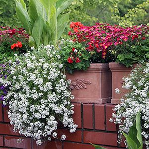 balcony plants great information on caring for balcony. Black Bedroom Furniture Sets. Home Design Ideas