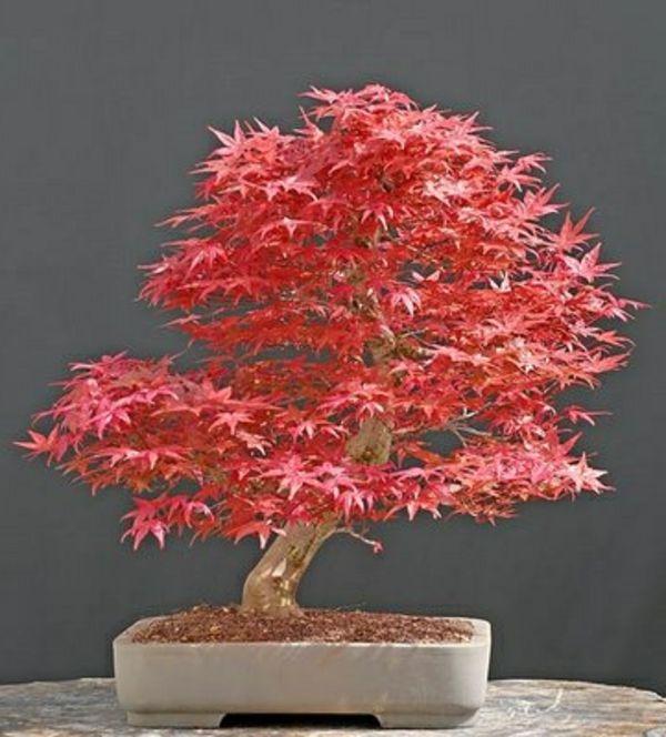 Un arbre bonsai la d coration par excellence pour l 39 int rieur ou le jardin - Dessin arbre japonais ...