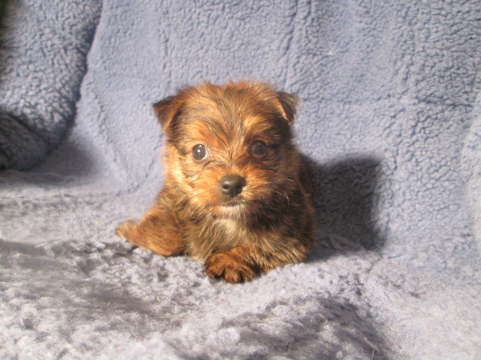 Super Adorable Yopom Puppies Available Yorkie X Pomeranian 8 12 Weeks Of Age Permanent Shots And Wormings Co Mixed Breed Puppies Puppies Cute Puppies