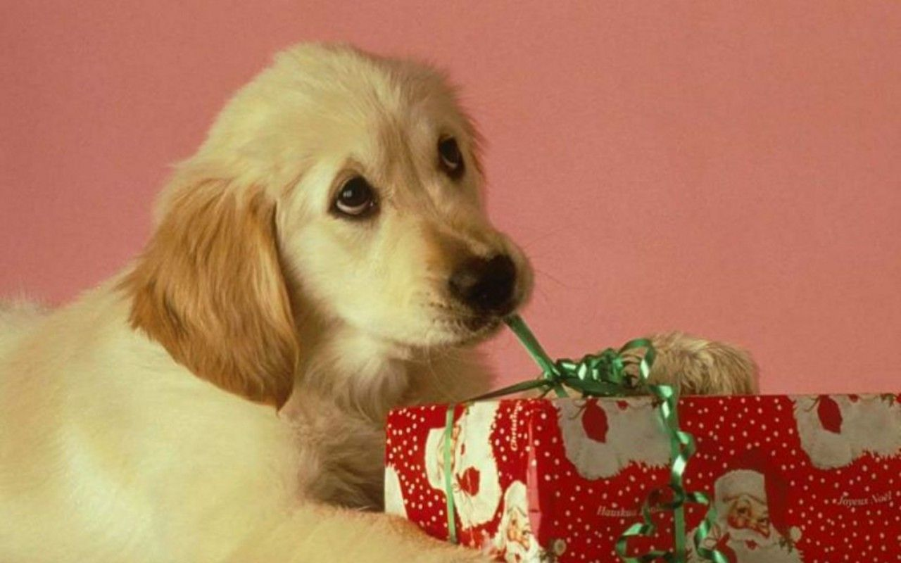Puppies Wallpaper Christmas Puppy Christmas Puppy Dog Christmas Pictures Dog Holiday