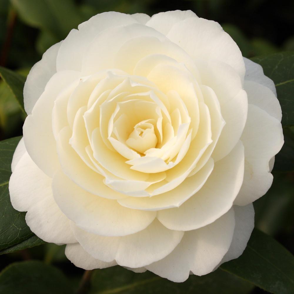 Buy Camellia Dahlonega Japonica Online Duchy Nursery Camellia Flower Beautiful Flowers Rare Flowers