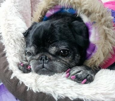 Ethel An Adoptable Pug Located In Indianapolis In Pug Breed