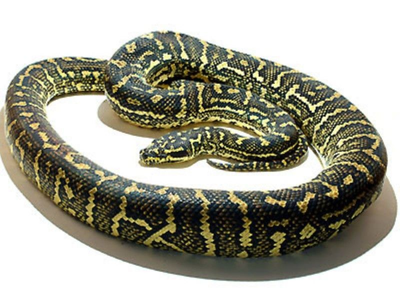 ジャングルカーペットパイソン 爬虫類 ヘビの基本的な知識と飼育法 ヘビ 爬虫類 アオダイショウ