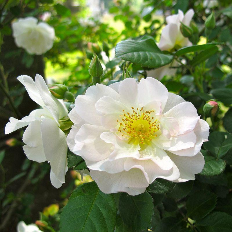 White Shrub Rose