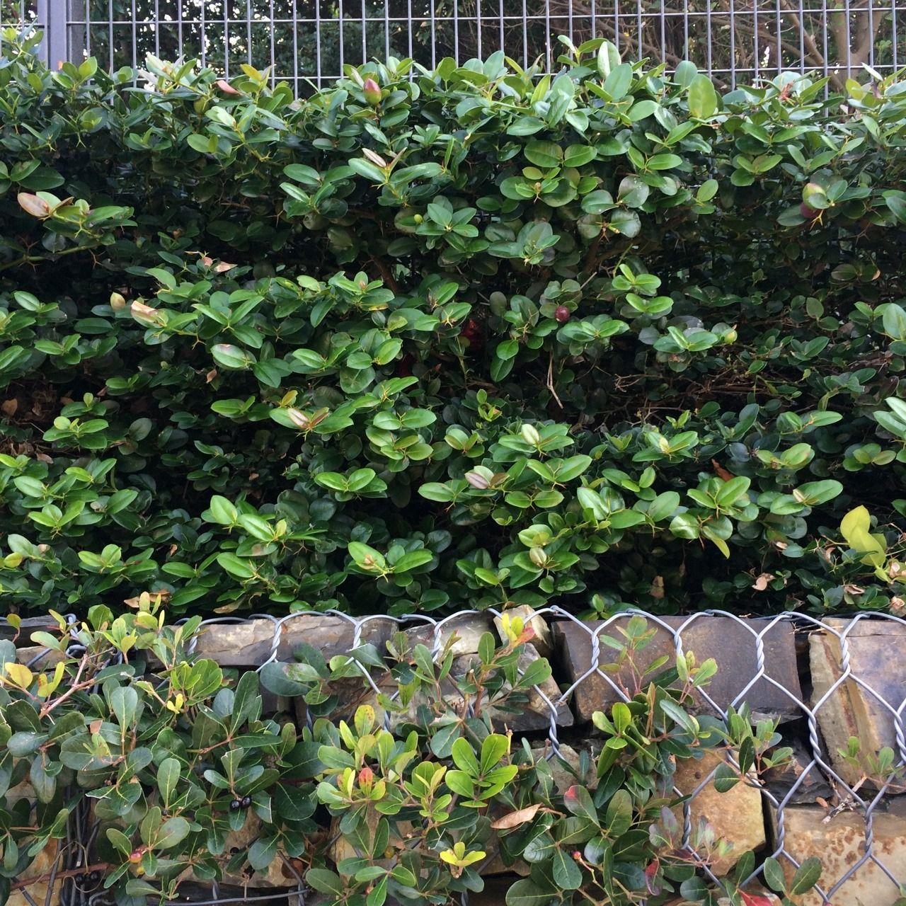 Rhoicissus Digitata As Creeper On Gabion Wall And Carrisa