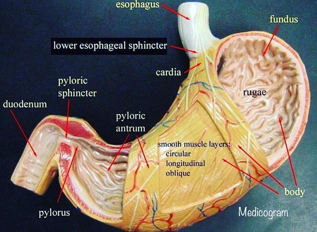 Medicogram On Instagram Stomach The Stomach Is A Major Digestive Organ In The Digestive Sys Anatomy Models Labeled Anatomy Models Digestive System Anatomy