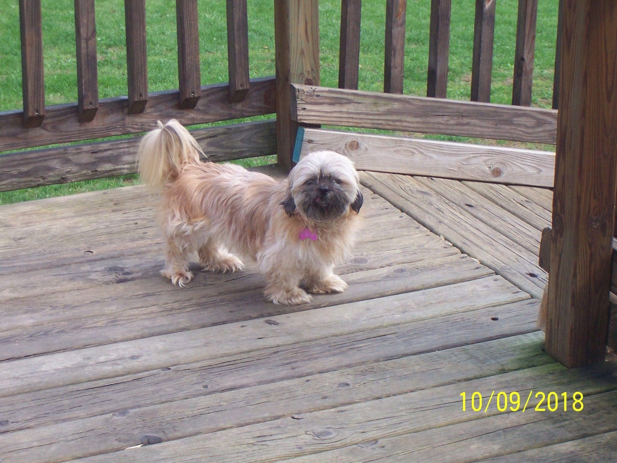 Adopt Kiki On Shih Tzu Dogs Shih Tzu Mix