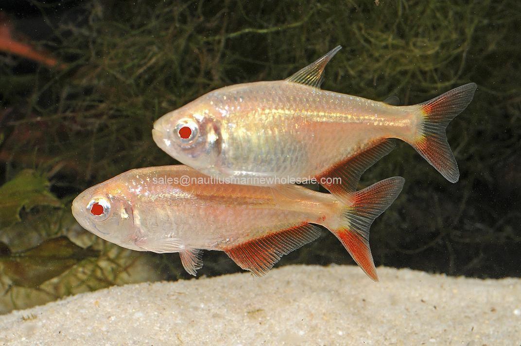 Albino Buenos Aries Tetra Tropical Fish Fish Fish Pet