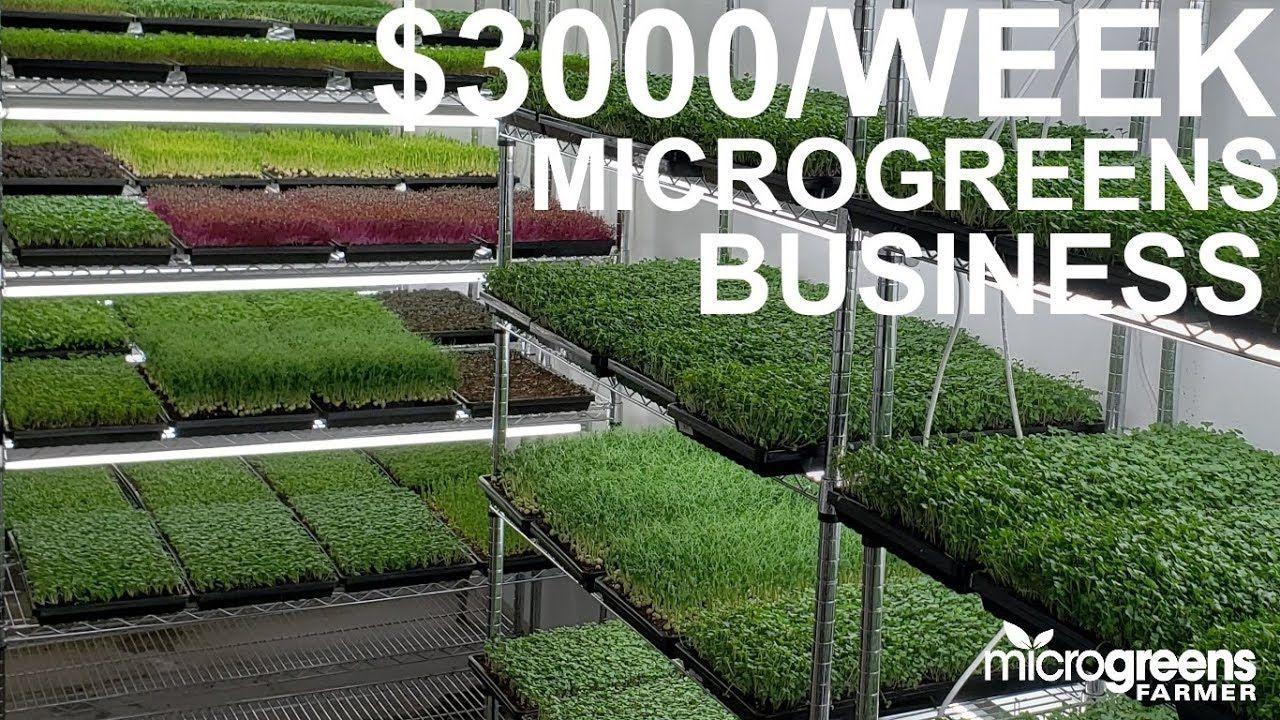 microgreens business selling $3000 per week to restaurants
