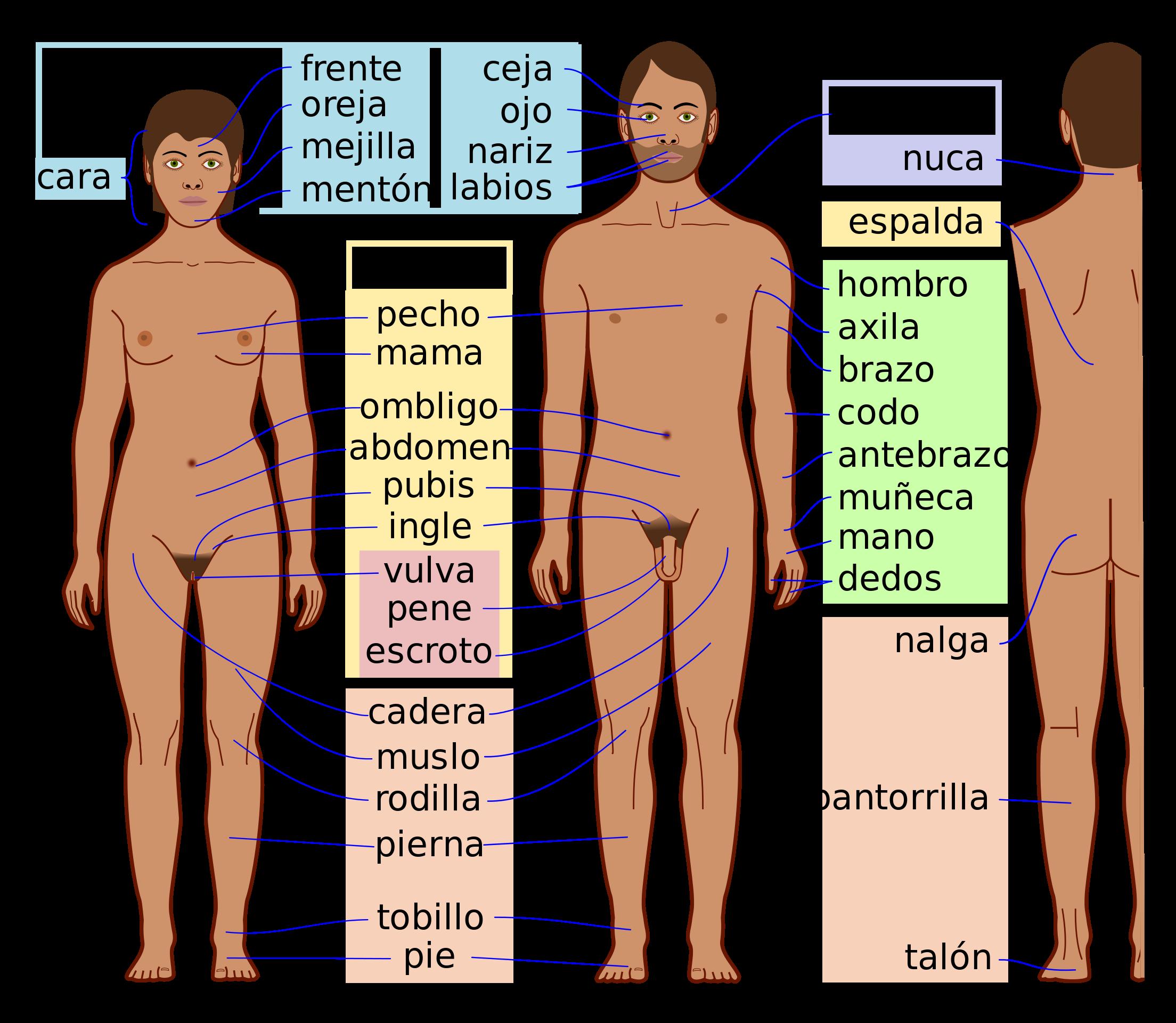 Cuerpo humano - Wikipedia, la enciclopedia libre | Aprender | Pinterest