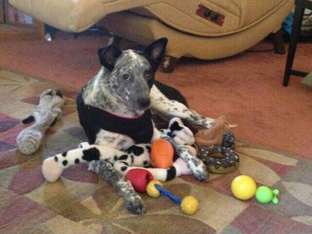 Image result for heeler dog toys