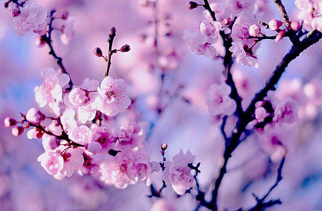 Dsc 0494 Cherry Blossom Wallpaper Cherry Blossom Background Computer Wallpaper