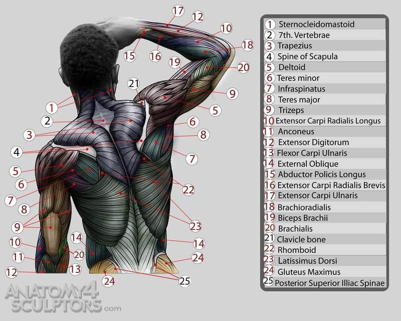 Muscles Of The Torso | Anatomy For Sculptors | 草图 | Pinterest ...